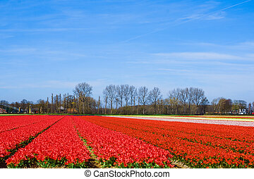 Landscape with tulips. Beautiful landscape of colorful tulip flower field