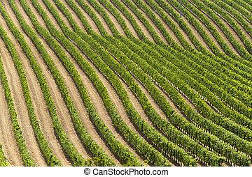 Landscape with vineyards at summer near Montepulciano (Siena...