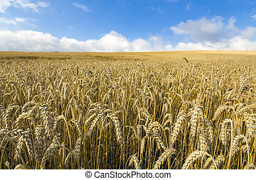 Landscape with warm colored yellow wheat crops on sunny day on rural farmland.