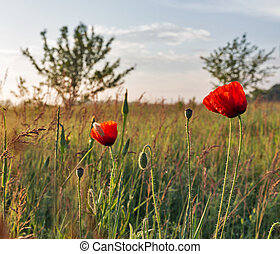 Landscape with wild poppies at early morning closeup