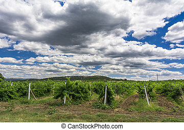 Landscape with wine grapes in the vineyard. Crimea