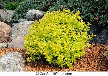 landscaping, monticule, spirea, arbrisseau, or