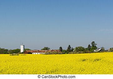 landschaft, ansicht, mit, a, blüte, rapeseed, feld