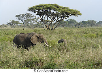 landschap, olifanten, savanne, twee, hoog, gras