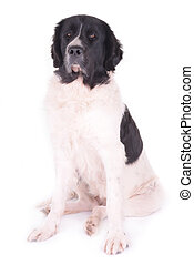 landseer in front of white background