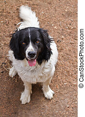 Landseer purebred dog looking up into the camera, low DOF