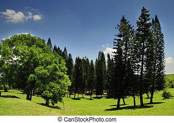 landskab, hos, fyrre træ