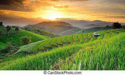 landskap, av, ris, terrasserar, med, solnedgång, bakgrund,...