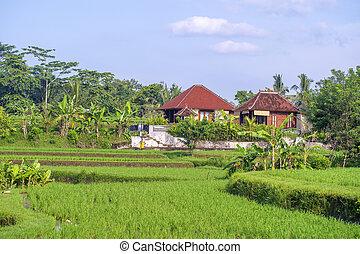 landskap, fält, resa, hus, träd, begrepp, bali, indonesia., palm, natur, solig, ris, dag, ö