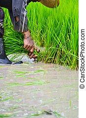 landwirt, arbeitende , pflanzen reis, in, bauernhof, von, thailand, südostasien