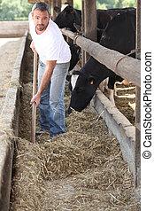 landwirt, fütterung, der, kühe