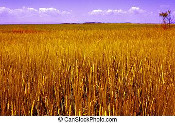 landwirtschaft, landschaftsbild, -, goldenes, getreidefeld