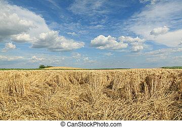 landwirtschaft, weizenernte, beschädigt, feld