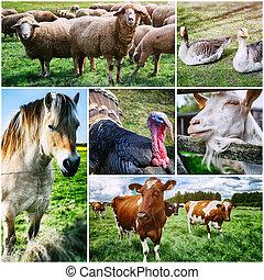 landwirtschaftlich, collage, mit, verschieden, bauernhoftiere