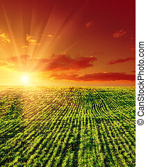 landwirtschaftlich, grünes feld, und, sonnenuntergang
