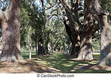 Lane of Sun Dappled Oaks