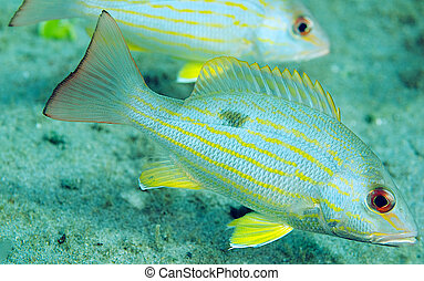 Lane Snapper fish very close up.
