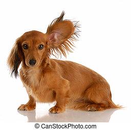 lang behaart, miniatur, dachshund, mit, eins, ohr, oben...
