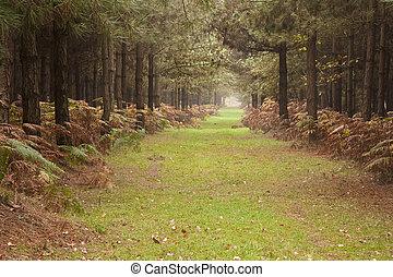 lang, steegjes, door, pijnboom, bos, in, herfst, herfst