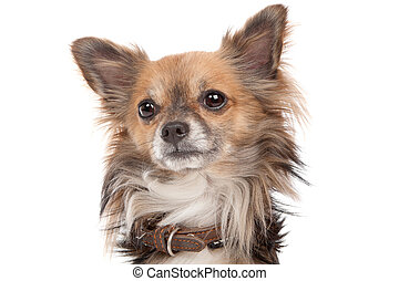 lange haired, chihuahua
