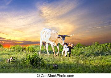 langhoornig, zonopkomst, kalveren, grazen, koe