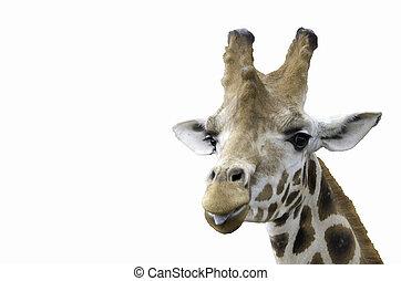langue, girafe, spectacles