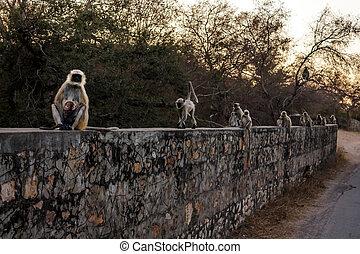 Languor monkey on a wall