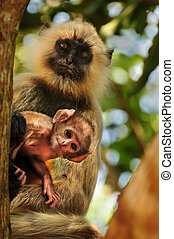 Langur monkey baby with mother