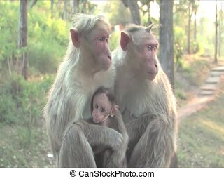 Langur Monkeys - Langur Monkey in Mudhumalai Wildlife...