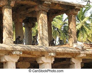 Gray Langur Monkey Langurs Presbytis entellus in Hampi, Karnataka, India