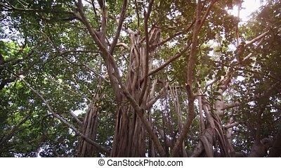 lanka, branches, arbres, tordu, pendre, racines, exotique, ...