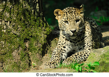 lanka, sri, léopard
