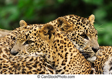 lanka, sri, leopard