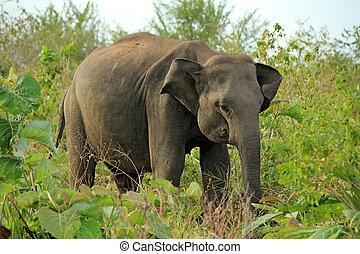 Lankesian Elephant (Elephas Maximus Maximus) in the Bush. Uda Walawe National Park, Sri Lanka