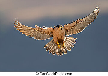 A lanner falcon (Falco biarmicus) landing with outstretched wings, South Africa