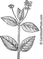 Lantana, a flowering plant, vintage engraving.