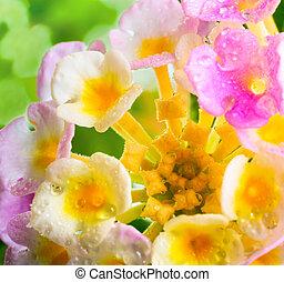 Lantana camara flower with drops on green blur background, closeup