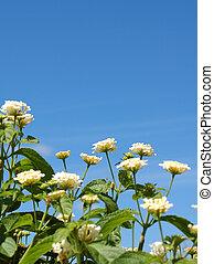 lantana, fiori, contro, cielo blu