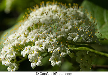lantana, flores, viburnum