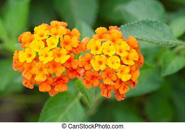 Lantana flowers   - Lantana flowers