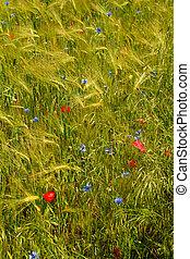 lantbruk, blomningen, gröna gärde