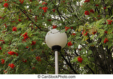 Lantern in the branches of a Rowan