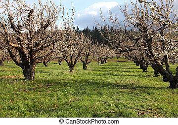 lantgård, körsbär, flod, huv, fruktträdgård