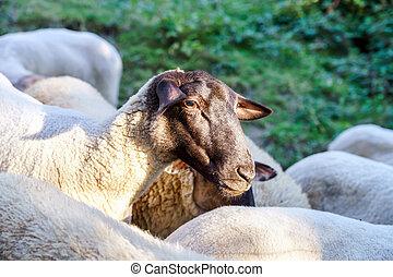 lantgård, sheeps, på, den, sol, kväll, sommar