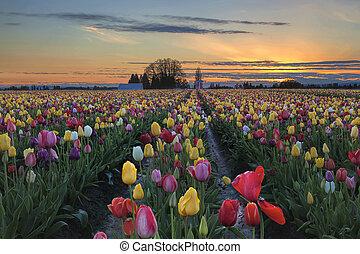 lantgård, tulpan, solnedgång, fält