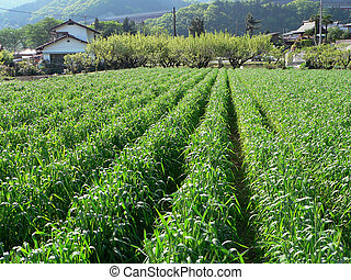 lantlig, agrikultur gärde