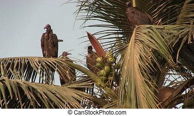 Lappet-faced Vulture in a tree - Lappet-faced Vulture...