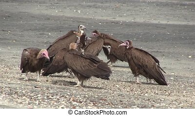 Lappet-faced Vulture. - Lappet-faced Vultures savaging for...