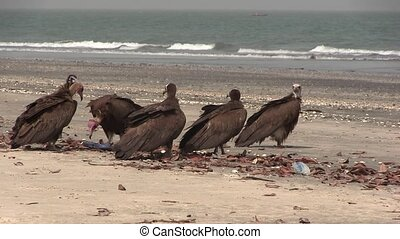 Lappet-faced Vulture savaging for food in The Gambia, West...