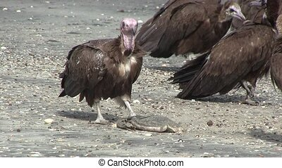 Lappet-faced Vulture - Lappet-faced Vulture savaging for...